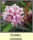 dodder,common (clamh�n)