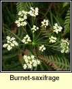 burnet-saxifrage (ain�s fhi�in)