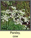 parsley,cow (pheirsil bh�)