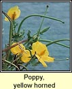 poppy,yellow horned (caillich�n na tr�)