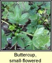 buttercup,small-flowered (fearb�n beag)