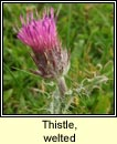 thistle,welted (feochadán reangach)