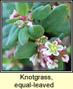 knotgrass,small-leaved (gl�ineach ghainimh)