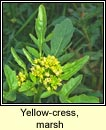 yellow-cress,marsh (biolar bu� corraigh)
