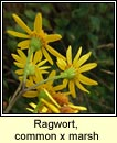 ragwort,common x marsh