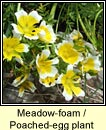 meadow-foam