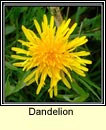 dandelions (caisearrbh�n)
