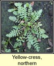 yellow-cress,northern (biolar bu� na Boirne)