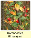 cotoneaster,Himalayan (cainch�n Aiseach)