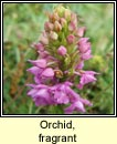 orchid,fragrant (lus taghla)