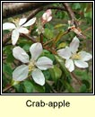 crab-apple (crann fia-�ll)