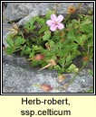 herb robert ssp (ruith�al r�)