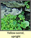 yellow-sorrel,upright (seams�g ghallda)