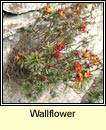 wallflower (lus an bhalla)