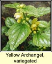 yellow archangel (neant�g Mhuire)
