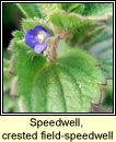 speedwell,crested (lus cr� m�r)