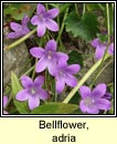 bellflower,adria