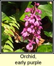 orchid,early purple (magairl�n meidhreach)