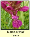 orchid,marsh,early (magairl�n m�r)
