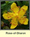rose-of-sharon (lus bu� Mhanann�in)