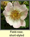 rose,short-styled field-rose (r�s st�leach)