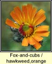 fox and cubs (searbh deargh)