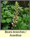 bears-breeches