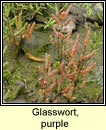 glasswort,purple
