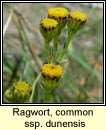 ragwort,common ssp dunensis