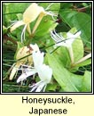 honeysuckle,Japanese