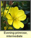 evening-primrose,intermediate
