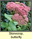 stonecrop,butterfly