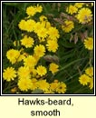 hawksbeard,smooth (lus c�r�in m�n)