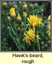 Hawk's-beard, rough (Lus c�r�in garbh)