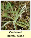 Cudweed, heath (Gnamhlus m�na)
