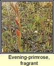 Evening-primrose, fragrant (Connneal o�che chumhra)