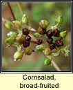 Cornsalad, broad-fruited