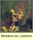 Meadow-rue, common