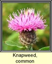knapweed,common (m�nscoth)
