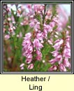 heather,ling (fraoch m�r)