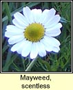 mayweed,scentless (me� drua)