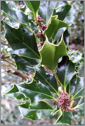 Irish Trees Holly