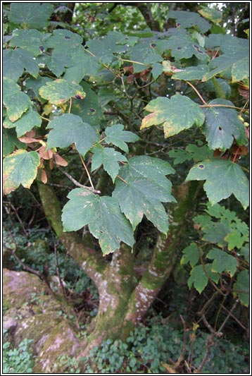 For You Flowers >> Irish Trees - Sycamore