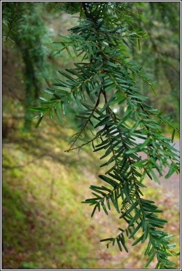 Irish Trees - Western ...