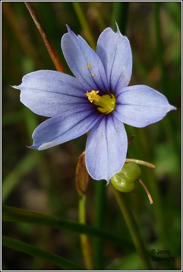Irish Wildflowers Blue Eyed Grass Sisyrinchium