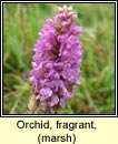orchid,fragrant,marsh (lus taghla)