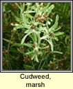 cudweed,marsh (lianthlus)