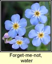 forget-me-not,water (ceotharnach uisce)